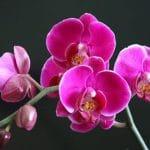 ในบรรดาดอกไม้ทุกชนิดของปีใหม่ทางจันทรคติ Phalaenopsis เป็นพิเศษที่สุดเรื่องเหล่านี้ต้องการความสนใจ